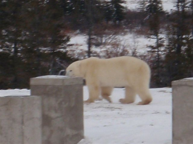 polar bears on construction site at Churchill Northern Research